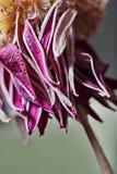 Πορφυρό μαραμένο λουλούδι Στοκ Εικόνες