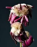 Πορφυρό μαραμένο λουλούδι Στοκ εικόνες με δικαίωμα ελεύθερης χρήσης