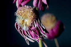 Πορφυρό μαραμένο λουλούδι Στοκ Φωτογραφίες