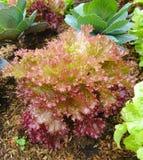 Πορφυρό μαρούλι ή Lactuca sativa στις οργανικές φυτικές πλοκές Στοκ εικόνα με δικαίωμα ελεύθερης χρήσης
