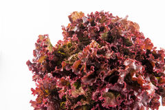 Πορφυρό μαρούλι Lactuca romaine sativa Στοκ Φωτογραφίες