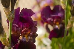 Πορφυρό λουλούδι ίριδων Στοκ Εικόνες