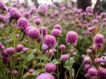 Πορφυρό λουλούδι αμάραντων Στοκ Εικόνα