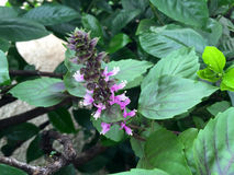 Πορφυρό λουλούδι βασιλικού στον κήπο Στοκ Εικόνα