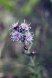 Πορφυρό λουλούδι εκτάριο εκτάριο Tonka τομέων Στοκ φωτογραφία με δικαίωμα ελεύθερης χρήσης