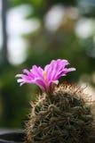 Πορφυρό λουλούδι κάκτων. Στοκ εικόνα με δικαίωμα ελεύθερης χρήσης