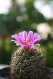Πορφυρό λουλούδι κάκτων. Στοκ φωτογραφίες με δικαίωμα ελεύθερης χρήσης