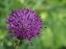 Πορφυρό λουλούδι κάρδων που συσσωρεύεται με τα έντομα Στοκ Φωτογραφία