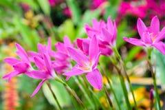 Πορφυρό λουλούδι κρίνων βροχής Στοκ Εικόνες