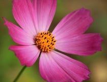 Πορφυρό λουλούδι κόσμου Στοκ Φωτογραφίες