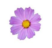 Πορφυρό λουλούδι κόσμου Στοκ φωτογραφία με δικαίωμα ελεύθερης χρήσης