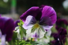 Πορφυρό λουλούδι με τις μικρές πτώσεις μετά από τη βροχή στοκ φωτογραφία με δικαίωμα ελεύθερης χρήσης