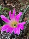 Πορφυρό λουλούδι με τον κάκτο Στοκ Εικόνες