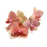 Πορφυρό λουλούδι ορχιδεών που απομονώνεται Στοκ Εικόνες