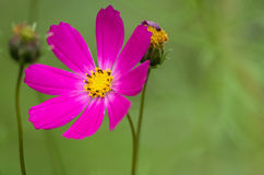 Πορφυρό λουλούδι σε πράσινο Στοκ Εικόνα