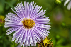 Πορφυρό λουλούδι σε πράσινο Στοκ φωτογραφία με δικαίωμα ελεύθερης χρήσης