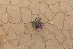 Πορφυρό λουλούδι στην έρημο Στοκ εικόνα με δικαίωμα ελεύθερης χρήσης