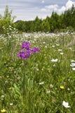 Πορφυρό λουλούδι στη θάλασσα των άσπρων λουλουδιών Στοκ εικόνες με δικαίωμα ελεύθερης χρήσης