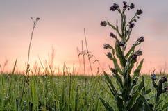 Πορφυρό λουλούδι στο λιβάδι με την ανατολή και τη δροσιά Στοκ εικόνα με δικαίωμα ελεύθερης χρήσης