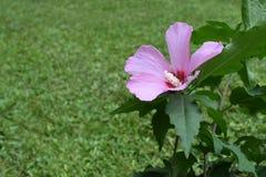 Πορφυρό λουλούδι της Althea Στοκ Εικόνες