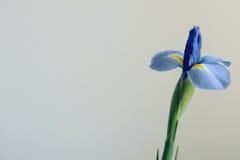 Πορφυρό λουλούδι της Iris στο ελαφρύ υπόβαθρο Στοκ εικόνες με δικαίωμα ελεύθερης χρήσης