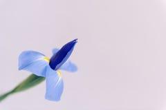 Πορφυρό λουλούδι της Iris στο ελαφρύ υπόβαθρο Στοκ Εικόνα