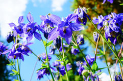 Πορφυρό λουλούδι του ευρωπαϊκού columbine (Aquilegia vulgaris) στο sunn Στοκ εικόνες με δικαίωμα ελεύθερης χρήσης