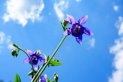 Πορφυρό λουλούδι του ευρωπαϊκού columbine (Aquilegia vulgaris) στο sunn Στοκ Φωτογραφία