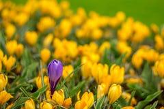 Πορφυρό λουλούδι τουλιπών στον κίτρινο τομέα λουλουδιών στοκ φωτογραφίες με δικαίωμα ελεύθερης χρήσης