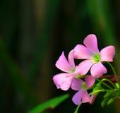 Πορφυρό λουλούδι τριφυλλιών Στοκ φωτογραφία με δικαίωμα ελεύθερης χρήσης