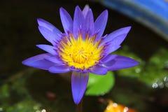 Πορφυρό λουλούδι λωτού Στοκ Φωτογραφίες