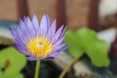 Πορφυρό λουλούδι λωτού Στοκ Εικόνα