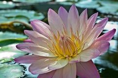 Πορφυρό λουλούδι λωτού Στοκ Εικόνες