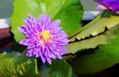 Πορφυρό λουλούδι λωτού Στοκ φωτογραφία με δικαίωμα ελεύθερης χρήσης