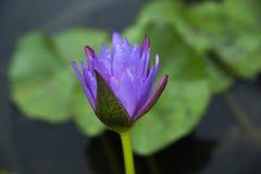 Πορφυρό λουλούδι λωτού Στοκ εικόνες με δικαίωμα ελεύθερης χρήσης