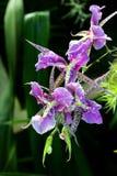 Πορφυρό λουλούδι όμορφο Στοκ εικόνα με δικαίωμα ελεύθερης χρήσης