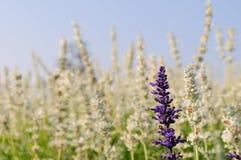 Πορφυρό λουλούδι Στοκ Φωτογραφίες