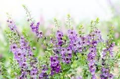 Πορφυρό λουλούδι Angelonia Στοκ εικόνες με δικαίωμα ελεύθερης χρήσης