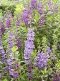 Πορφυρό λουλούδι Angelonia Στοκ Εικόνες