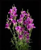 Πορφυρό λουλούδι antirrhinum που απομονώνεται στο μαύρο υπόβαθρο Στοκ Εικόνα