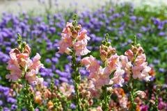 Πορφυρό λουλούδι antirrhinum (snapdragon) Στοκ Φωτογραφία