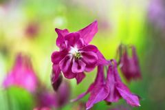 Πορφυρό λουλούδι aquilegia (columbine) στον κήπο, Στοκ Εικόνες