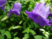 Πορφυρό λουλούδι Campanula Στοκ Φωτογραφίες