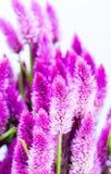 Πορφυρό λουλούδι cattail Στοκ εικόνα με δικαίωμα ελεύθερης χρήσης