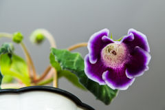 Πορφυρό λουλούδι Gloxinia Στοκ Εικόνα