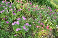 Πορφυρό λουλούδι Vinca Στοκ φωτογραφία με δικαίωμα ελεύθερης χρήσης