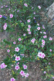 Πορφυρό λουλούδι Vinca Στοκ Εικόνα