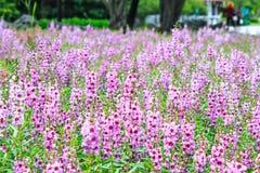 Πορφυρό πεδίο λουλουδιών Στοκ φωτογραφία με δικαίωμα ελεύθερης χρήσης