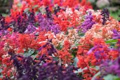 Πορφυρό ρόδινο και πορτοκαλί αφηρημένο άνθος φύσης λουλουδιών salvia Στοκ Εικόνες