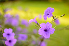Πορφυρό ρόδινο υπόβαθρο θαμπάδων εστίασης λουλουδιών εκλεκτικό Στοκ φωτογραφία με δικαίωμα ελεύθερης χρήσης